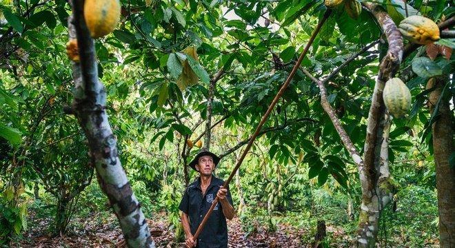 Projeto Cacau Floresta alia o cultivo de cacau com outras espécies nativas em seu sistema agroflorestal