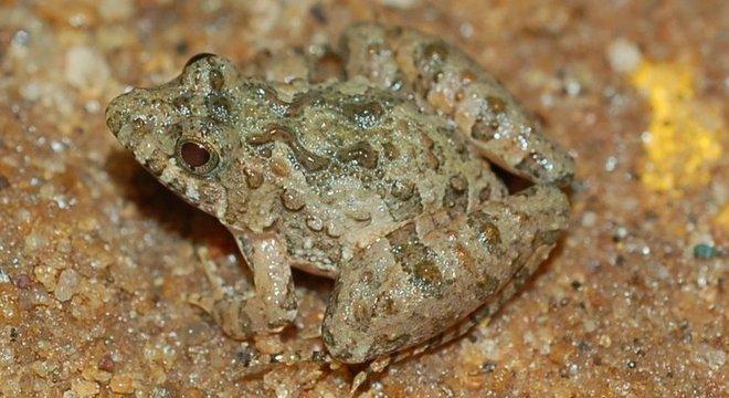 Pseudopaludicola murundu encontrada em Poços de Caldas (MG); estudos avançaram graças ao maior interesse dos pesquisadores e ao barateamento da tecnologia de análise
