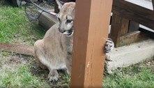 Puma é levado de apartamento em NY, onde vivia como pet