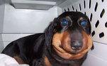 Caso isso aconteça com o seu cão, ele deve ser imediatamente levado ao veterinário para a remoção do ferrão e aplicação de anti-histamínicos