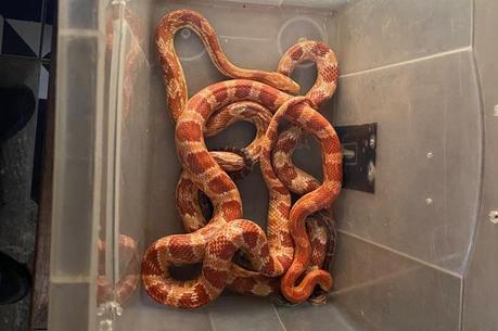 Animais são da espécie corn snake
