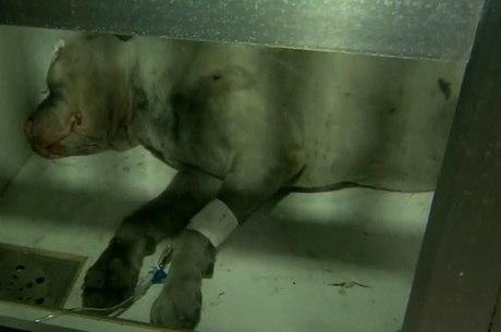 Guerreiro aguarda cirurgia em hospital veterinário