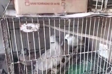 Pombos encontrados no local