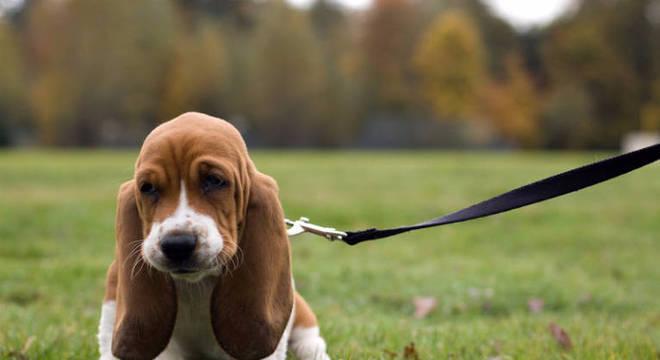 Raças de cães independentes
