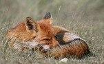 Apesar do transtorno, todos lidaram com bom humor e não puniram o animalUm homem descobriu ter resgatado raposa em estrada ao invés de cão! Veja a seguir fotos da fofura