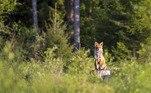De acordo com o jornal local Tagesspiegel, os moradores do bairro onde a raposa perambula reclamavam constantemente do sumiço de seus calçados quando os deixavam nos quintais