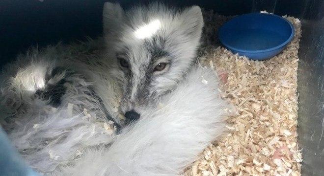 Após ser cuidada pelos pescadores, a raposa melhorou e foi devolvida à natureza