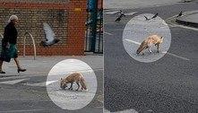 Selva de pedra: raposa abocanha pomba em rua de Londres