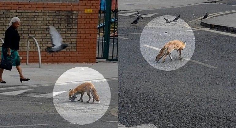 Raposa abocanhou pomba no meio de rua em Londres, capital da Inglaterra