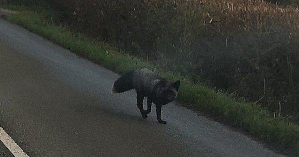 A rara raposa 'prateada' que paralisou o trânsito na Inglaterra