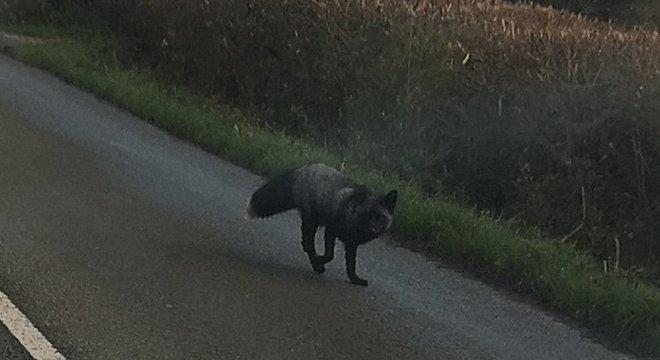 Na Inglaterra, esse tipo de animal é conhecido como 'raposa prateada'