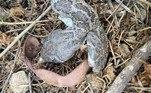 A cascavel mutante foi encontrada morta e afastada dos outros filhotes