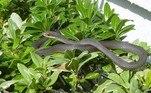 O réptil pertence à espécieColuber constrictor priapus, que não é venenosa