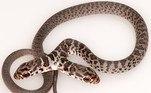 A publicação explica que seria improvável a sobrevivência da cobra no meio natural