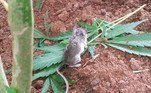 Em postagem no Facebook, Colin disse ter assistido ao roedor mordiscar a planta por dois dias seguidos