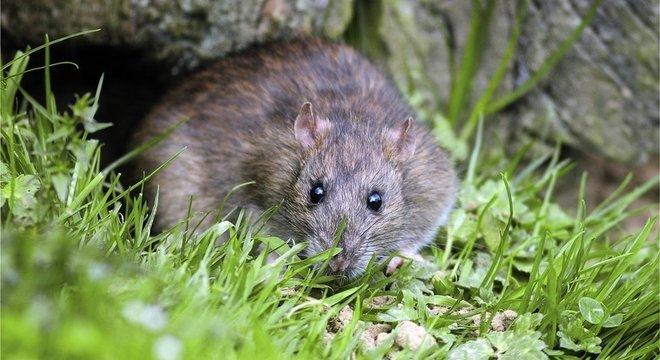 Animais como os ratos são beneficiados pela ação humana