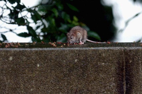 Policiais argentinos acusam ratos de comer meia tonelada de maconha