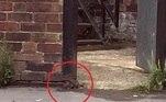 Ratos gigantes inutilizaram um carro e logo depois deixaram mãe e filhos presos em casa. A mulher filmou a cena de fora e mostrou roedores imensos passeando em busca de comida