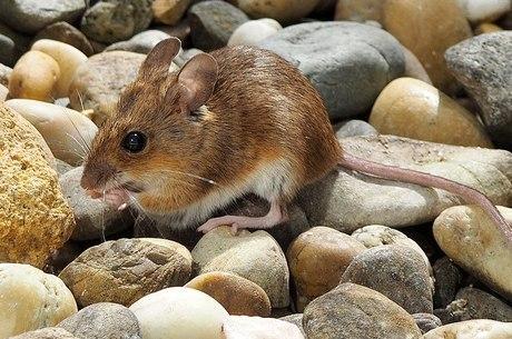 Doença pode ser transmitida por roedores silvestres