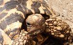 Segundo o grupo falou ao jornal inglês The Times, os ratos são a grande ameaça às tartarugas domésticas no momento