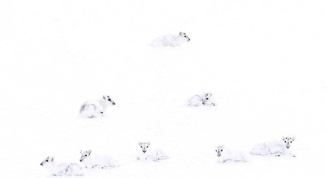 Este grupo de renas brancas do Ártico foi retratado por Francis De Andres
