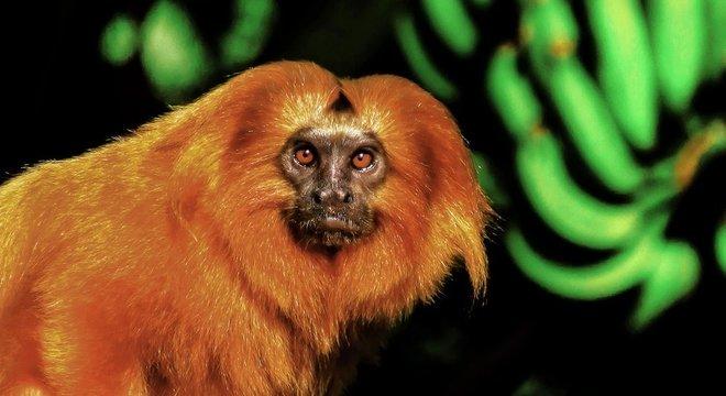 'A Mata Atlântica está dividida em fragmentos. E a fragmentação é uma grande ameaça para o mico', explica Ferraz