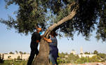 A couple take part in a campaign by Israel's Nature and Parks Authority calling on Israelis to join sightseeing tours and find comfort in tree hugging amid a spike in the coronavirus disease (COVID-19), as part of Jerusalem's Old City walls are seen in the background July 9, 2020. Picture taken July 9, 2020. REUTERS/Ronen Zvulun