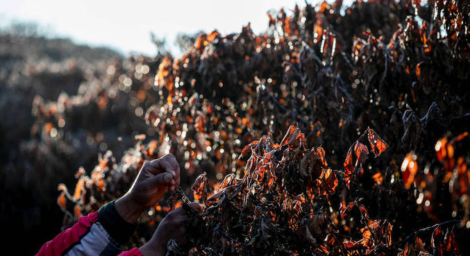 Plantações de café foram afetadas pela geada desta semana