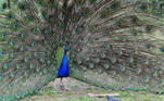 A peacock shows its plumage as part of a courtship display while a pigeon feeds nearby at a park in London, Britain April 20, 2021. REUTERS/Toby Melville TPX IMAGES OF THE DAY