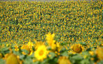 A field of sunflowers is seen during a hot, sunny day near the lake Steinsee in Niederseeon, Germany, July 31, 2020. REUTERS/Michael Dalder