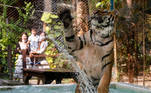 A tiger plays in water at a tiger zoo in Chaing Mai, Thailand March 31, 2021. Picture taken March 31, 2021. REUTERS/Soe Zeya Tun TPX IMAGES OF THE DAY