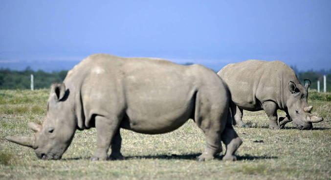 Existem apenas duas fêmeas de rinoceronte branco no mundo
