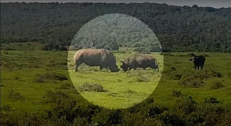Rinoceronte e búfalo foram flagrados durante raro confronto em savana africana