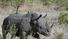 Plano bizarro quer usar material radioativo para salvar rinocerontes