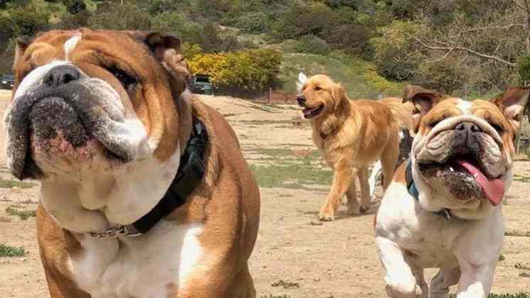 Roscoe é um bulldog e foi adotado por Hamilton em 2013, ainda filhote, junto da fêmea Coco
