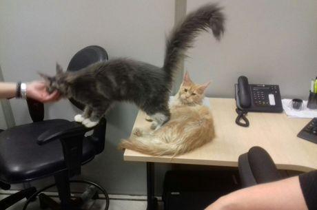 Dois gatos da raça Maine Coon estavam em sacolas