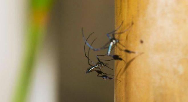 Mosquitos transmissores da febre amarela, que é silvestre no Brasil