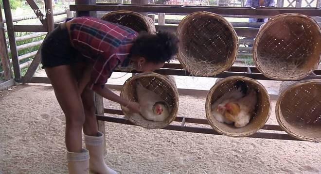 Sabrina criou coragem e enfrentou as bicadas das galinhas para retirar os ovos