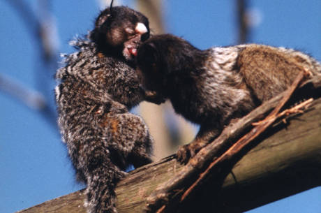 Um macaco sagui vive no Parque Ibirapuera