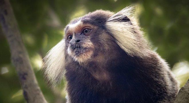 Saguis e micos mortos pela população durante surto de febre amarela estavam doentes com Zika; os primatas não transmitem a doença