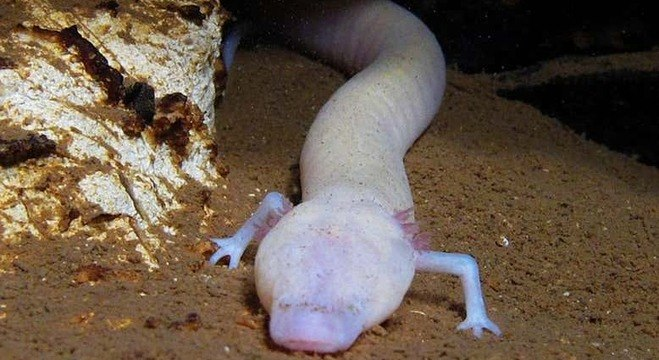 Por viver no absoluto escuro, a salamandra possui pele translúcida