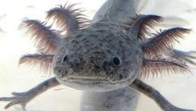 Salamandras mexicanas raras surgem em viveiro de casa inglesa