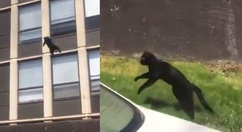 Habilidade do felino assustou muita gente que testemunhou o feito