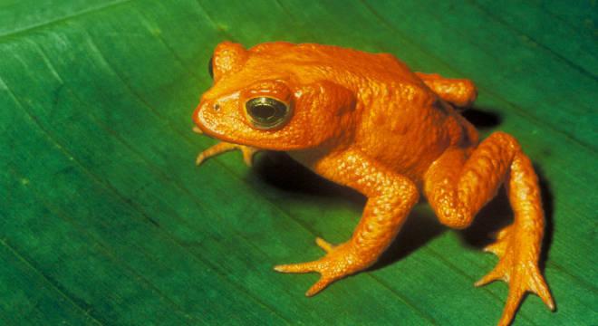 Fungo reduziu a população de mais de 500 espécies de anfíbios
