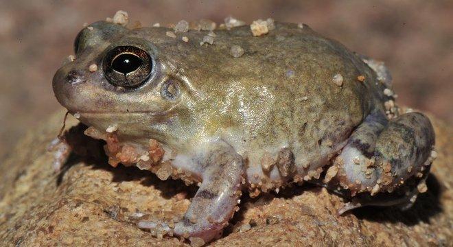 Sapo da espécie Pleurodema diploslister após fenômeno chamado estivação, que ocorre com anfíbios em desertos e onde água é escassa