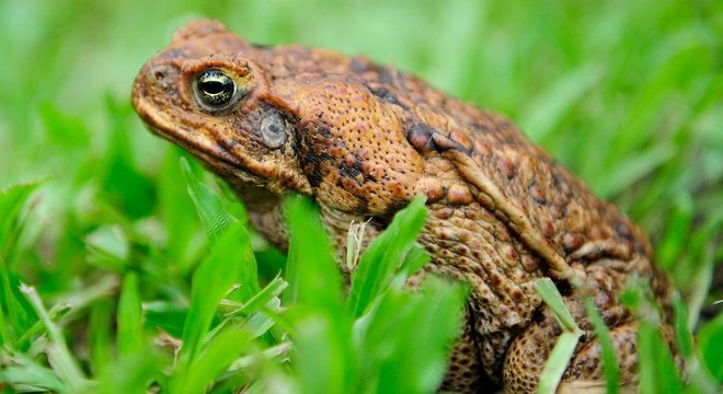 O veneno do sapo-cururu levou várias espécies predadoras à beira da extinção