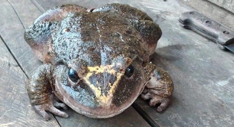 Carne do animal é muito apreciado entre moradores das Ilhas Salomão