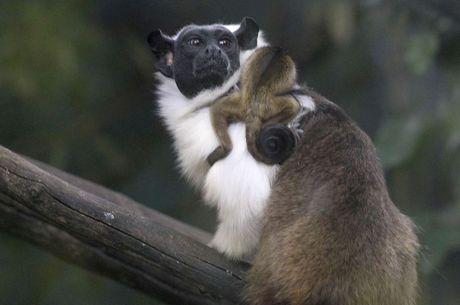 Primata ameaçado de extinção nasce em Brasília