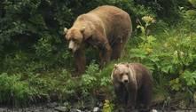 Doença misteriosa faz com que ursos percam o medo de humanos