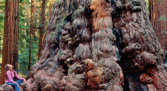 Sequoia gigante - A história da maior árvore do mundo